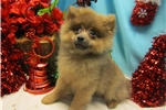 Picture of Toy Pomeranian (PUREBRED)  Vet Checked.