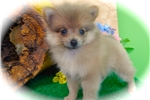 Picture of TOY Pomeranian. Female Puppy. Great 4 Kids.