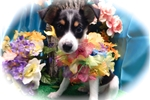 Picture of Toy Rat Terrier Mix Type Puppy. Great 4 KIDS!