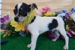 Picture of TOY Rat Terrier. Prespoiled. Great 4 KIDS!