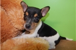 Picture of Chicago Rat Terrier  Male. Loves To Cuddle.