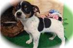 Picture of Rat Terrier/Shih Tzu Mix Type. FEMALE.