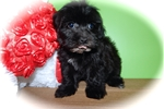 Picture of Chicago Shihpoo Female. Nonshedding/Allergy Free.