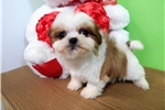 Chicago Shih Tzu Baby Girl. Nonshedding | Puppy at 8 weeks of age for sale