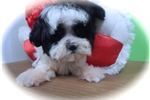 Picture of Shih Tzu Male, Nonshedding/Allergy Free.
