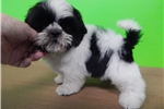 Picture of Chicago Shih Tzu Baby Boy. Nonshedding
