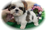 Picture of Male Shih Tzu Puppy