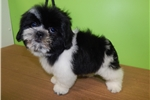 Picture of Chicago Shih Tzu Baby Girl.. Nonshedding