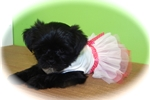 Picture of Toy Shorkie FEMALE. Nonshedding. Great 4 Kids!