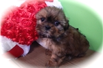 Picture of Chicago Shorkie Puppy. Nonshedding/Allergy Free.