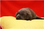 Charcoal Lab Female | Puppy at 5 weeks of age for sale