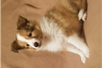 Picture of Carliss - Registered Sheltie female