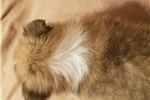 Picture of Casey - AKC male Sheltie