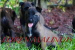 Picture of EXTREMELY DARK BELGIAN MALINOIS PUPPY