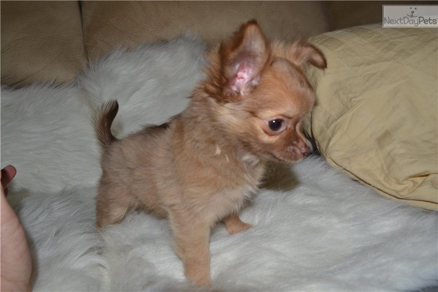 Teacup Puppies For Sale Missouri Adoption | Dog Breeds Picture