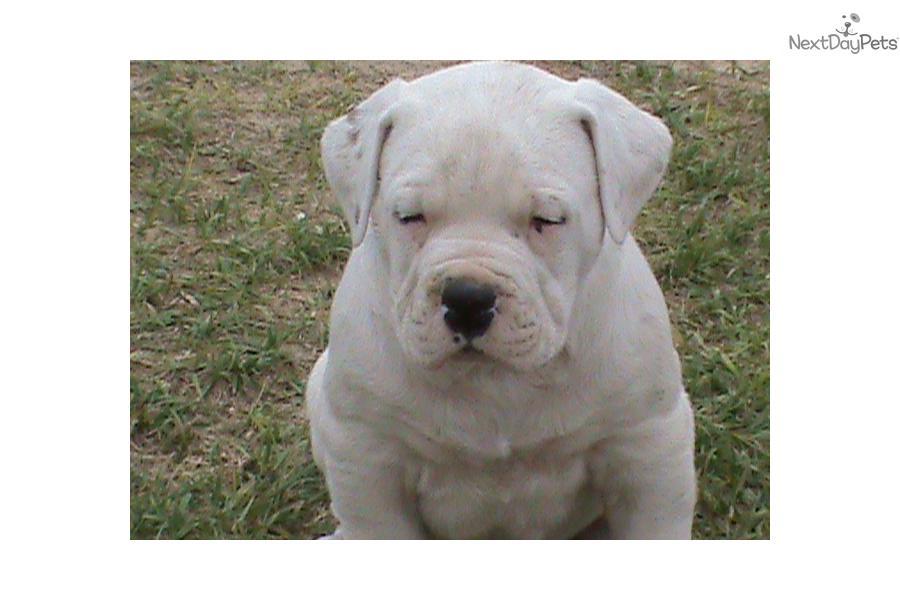 American bulldog puppy for sale near panama city florida ddf95ff4
