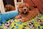 Picture of AKC Nicky