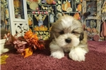 Picture of AKC Gordy