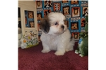 Picture of AKC Vaughn