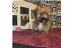 Picture of AKC Teddy