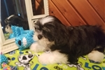 Picture of AKC Mickey
