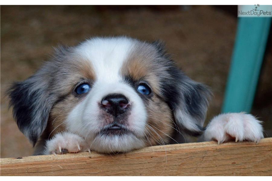 miniature australian shepherd puppies for sale in salem oregon dog