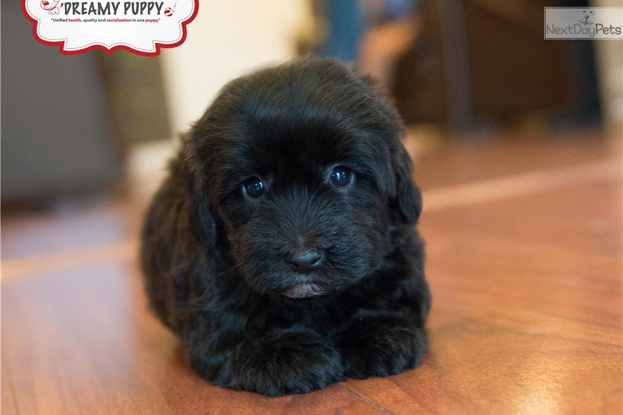 Image Result For Miniature Poodle For Sale