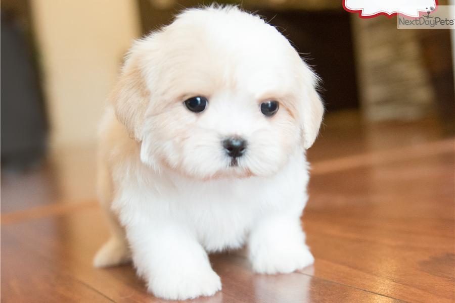Teddy Bear puppies Fuzzy Wuzzy Puppies shichon zuchon puppies
