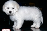 Picture of BEAUTIFUL BICHON FRISE PUPPY AVAILABLE! 158839