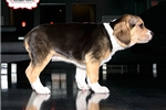 Picture of BEAUTIFUL BEABULL PUPPY AVAILABLE! 158915