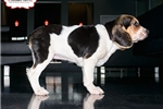 Picture of BEAUTIFUL BEABULL PUPPY AVAILABLE! 158914