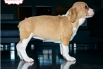 Picture of BEAUTIFUL BEABULL PUPPY AVAILABLE! 158911