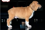 Picture of BEAUTIFUL BEABULL PUPPY AVAILABLE! 158921