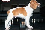 Picture of BEAUTIFUL BEABULL PUPPY AVAILABLE! 158912