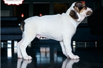 Picture of BEAUTIFUL BEABULL PUPPY AVAILABLE! 158919