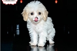 Picture of TOY CAVACHON PUPPY AVAILABLE TODAY! 158896