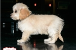 Picture of TOY CAVACHON PUPPY AVAILABLE TODAY! 158895