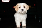 CAVACHON PUPPY AVAILABLE TODAY! 159132 | Puppy at 11 weeks of age for sale