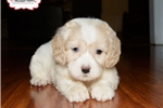 Picture of BEAUTIFUL COCKACHON SPANIEL PUPPY AVAILABLE NOW!