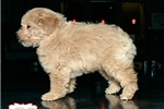 Picture of MINI POODLE AVAILABLE 158893