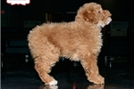 Picture of MINI POODLE AVAILABLE 158906