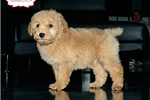 Picture of MINI POODLE AVAILABLE 158891