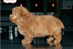 Picture of RED MINI POODLE AVAILABLE 158892