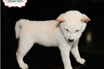 Picture of Shiba Inu Puppy Available Now! 159130