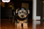 Picture of TOY SILKY TERRIER PUPPY AVAILABLE!!!