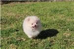 Picture of Tiny Cream Pomeranian Male