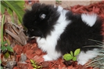 Picture of Cute Black and White Male Pomeranian