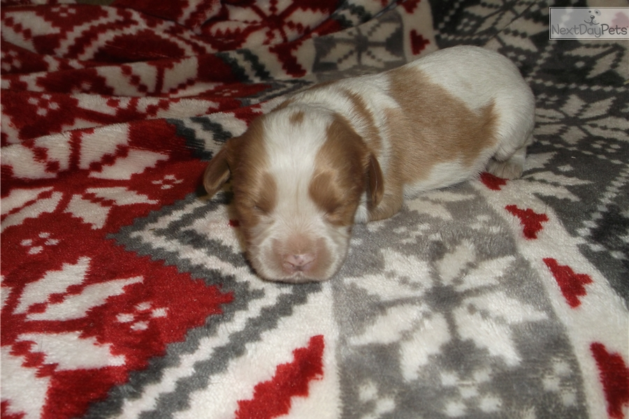 Cavalier King Charles Spaniel puppy for sale near ...
