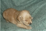 Picture of akc ofa cerf tested parents -