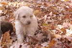 Picture of F1 goldendoodles in several colors -
